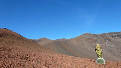 silver thistle maui volcano