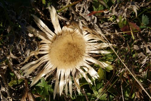 silver thistle plantae asteraceae