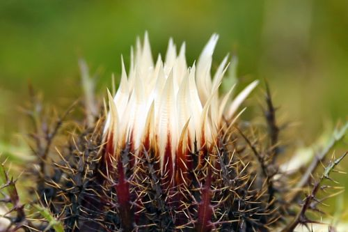silver thistle carlina acaulis mountain plant