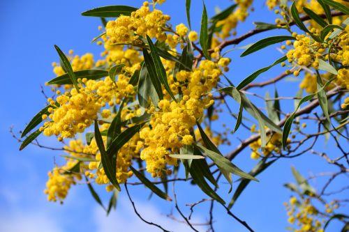 silver wattle acacia dealbata improper mimosa