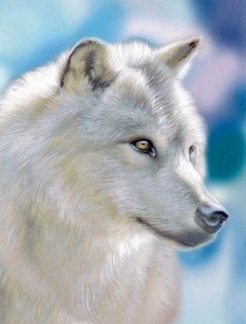sidabras vilkas,gyvūnas,miškas,gamta,laukiniai,scheu,laukinis gyvūnas,miško gyvūnas