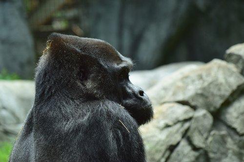 silverback  gorilla  zoo