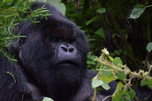 silverback  rwanda  mountain gorilla