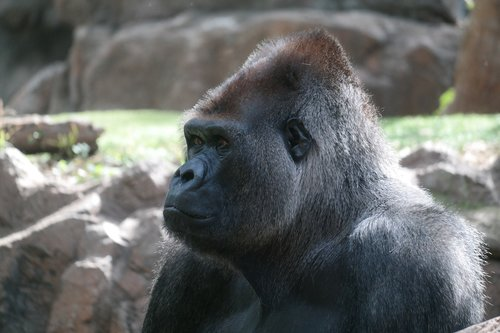 silverback  gorilla  mammal