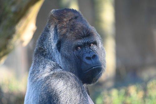 silverback  gorilla  mammals