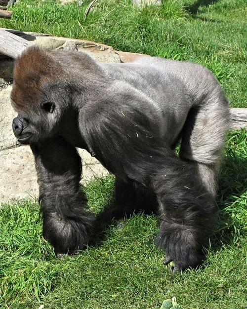 silverback gorilla calgary