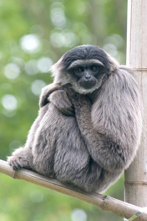 silvery monkey gibbon