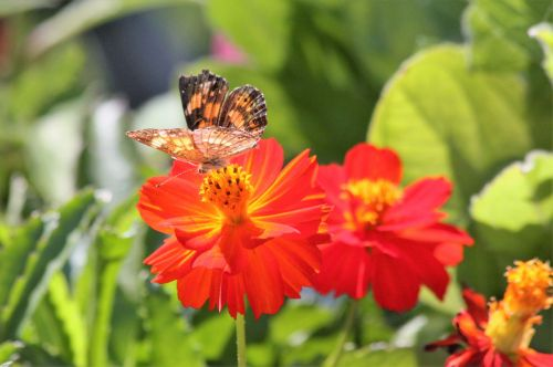 Silvery Checkerspot Butterfly 2