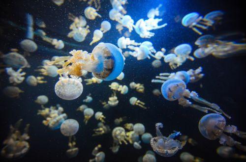 singapore aquarium jellyfish