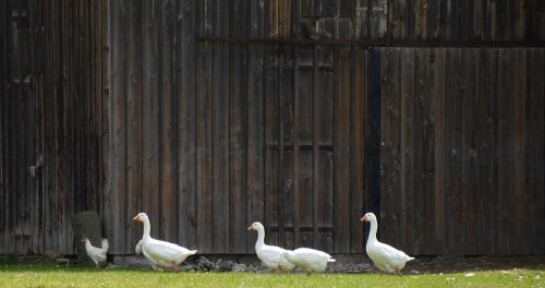 single file geese theater yard gate