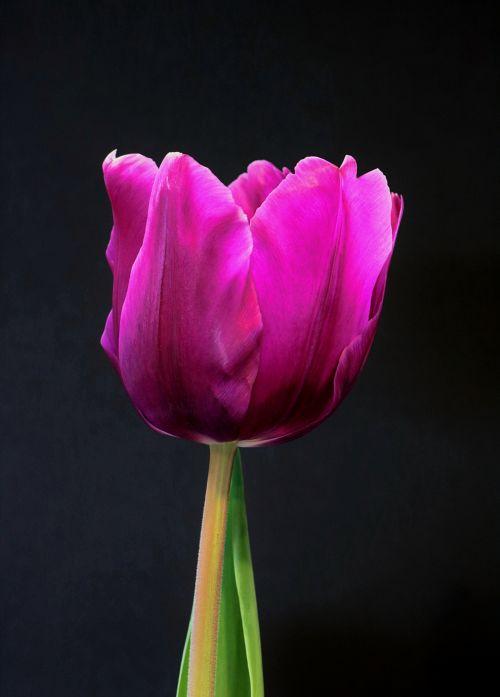 gamta, augalai, gėlės, violetinės & nbsp, gėlės, pavasaris & nbsp, gėlės, tulpės, violetinė, & nbsp, tulpė, vienas & nbsp, tulpė, vienas & nbsp, tulpė, One & nbsp, violetinė, & nbsp, tulpė, izoliuotas, juodas & nbsp, fonas, vienas violetinis tulpis ant juodo