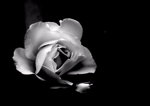 Single White Rose, Black Background