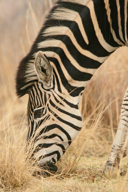 Single Zebra Grazing In The Veld