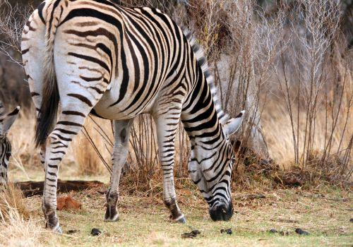 Single Zebra Grazing