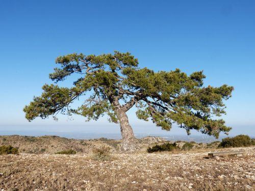 singular tree pine montsant