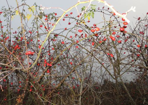 Wild Bushes In The Autumn