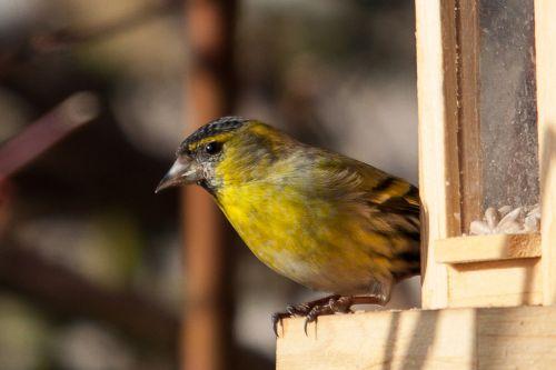 siskins songbird bird