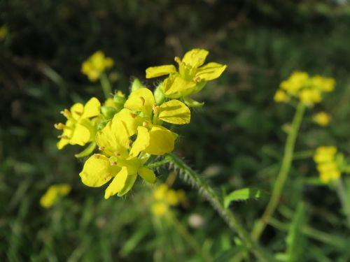 sisymbrium loeselii small tumbleweed mustard tall hedge mustard