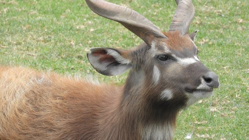 sitatunga  african antelope  the african fauna