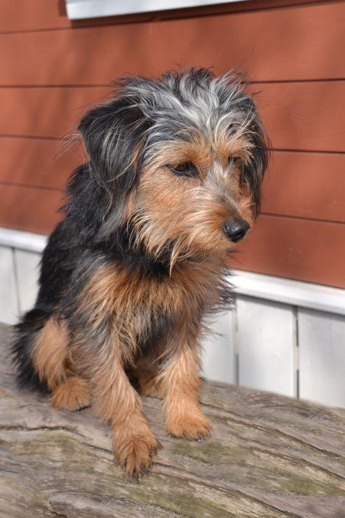 dog terrier wiener yorkshire