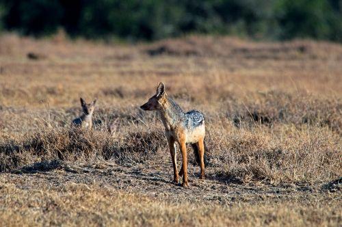 sjakal africa kenya