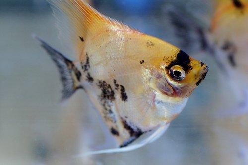 skalára  aquarium  fish
