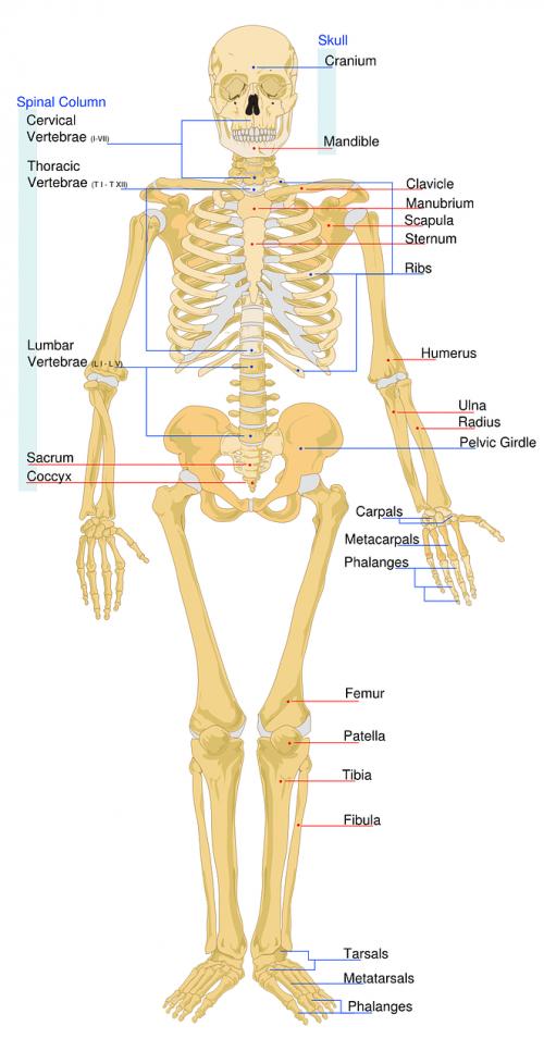 skeletal labeled worksheet