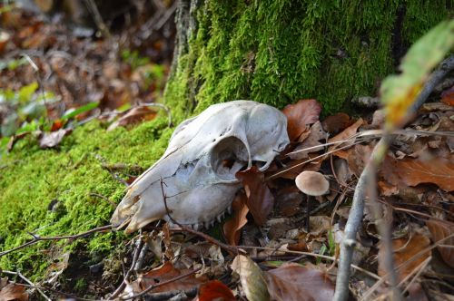 skeleton animal forest