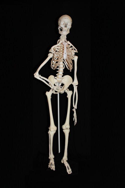skeleton human skull