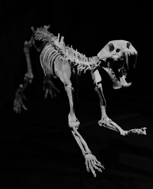 skeleton fossil sabre teeth