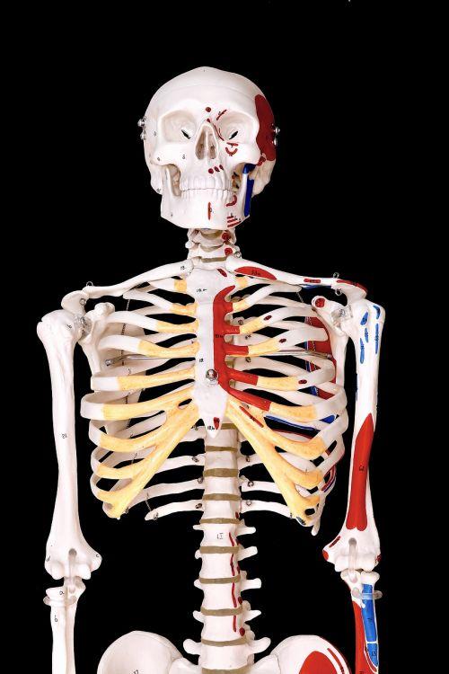skeleton human model