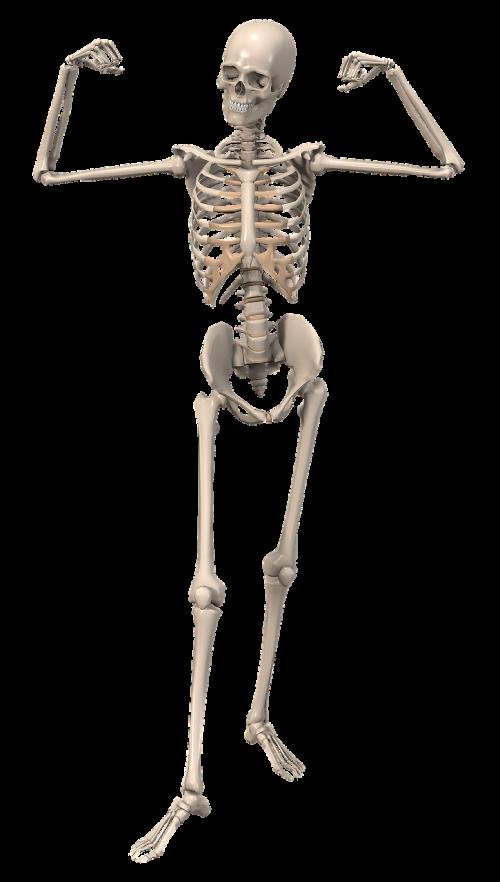 skeleton anatomy female