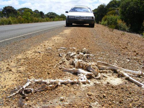 skeleton kangaroo carcass