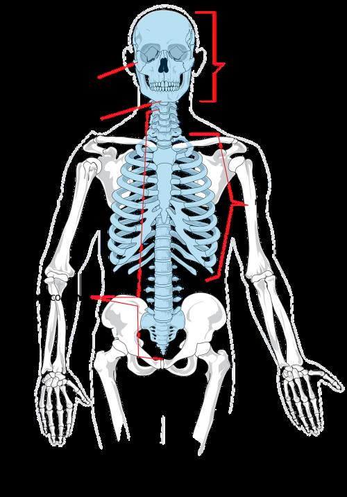 skeleton bones human