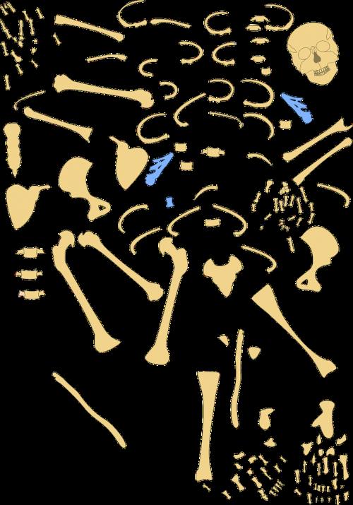 skeleton human bones