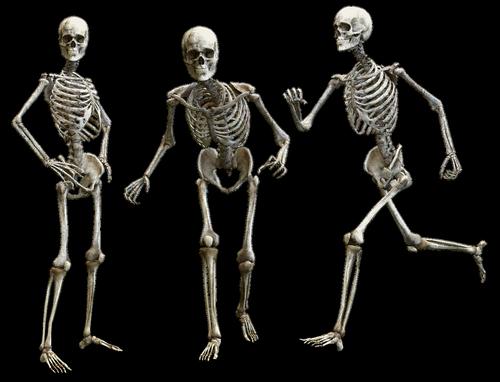 skeleton  human  bone