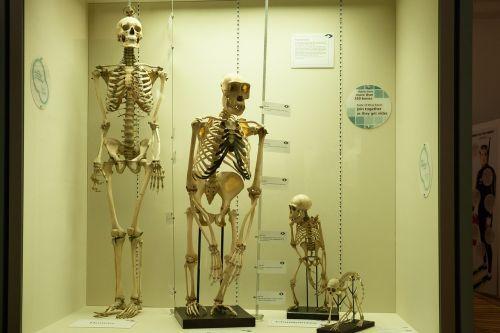 skeleton comparison human