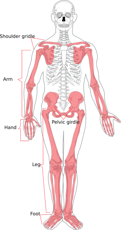 skeleton human diagram
