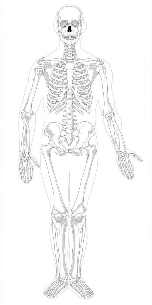 skeleton human skeletal