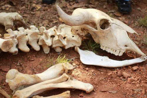 skeleton bones animal