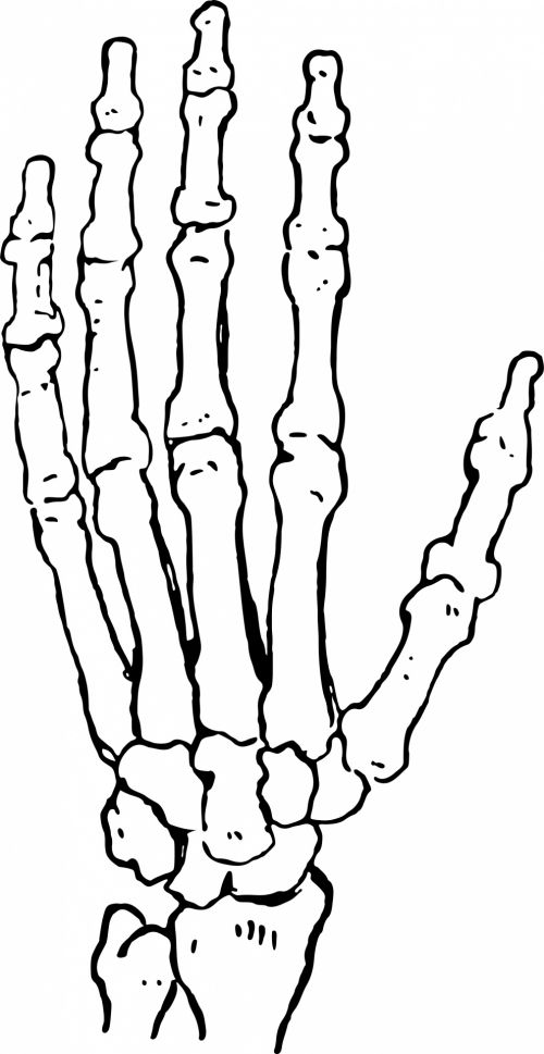 Free Photos Hand Bones Search Download Needpix