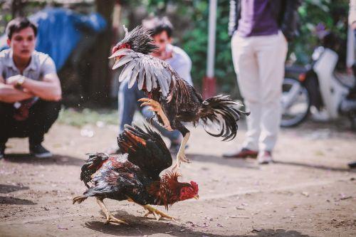 skill chicken cockfighting gamechicken