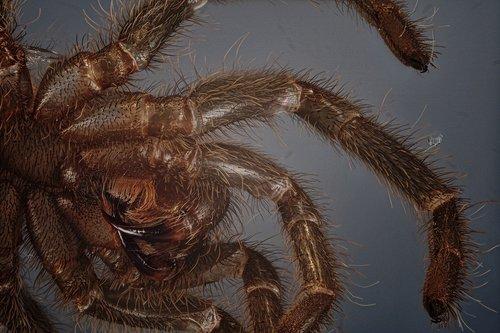 skinning  tarantula  macro