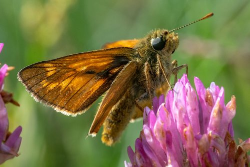skipper  insect  butterfly