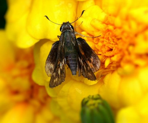 skipper butterfly hesperiidae insect