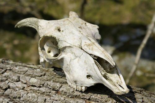 skull skeleton sheep