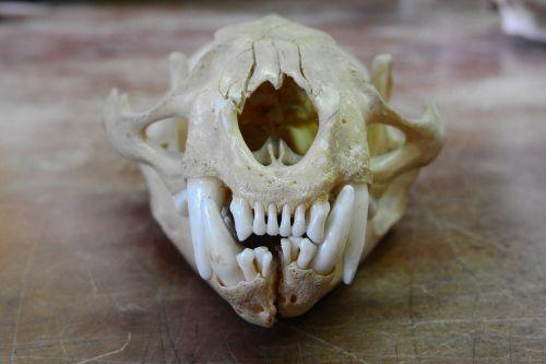skull front teeth teeth