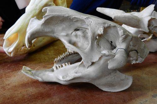 skull skeleton teeth