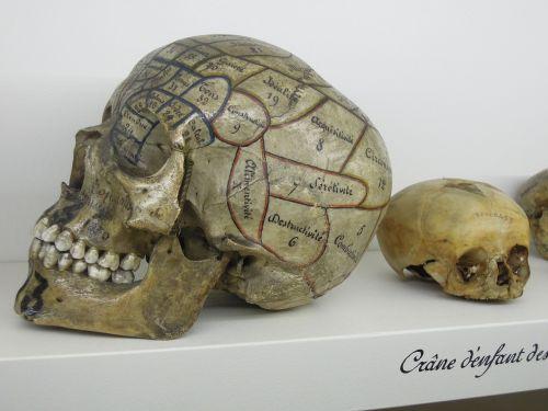 skull phrenology museum