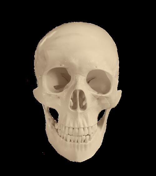 skull anatomy bones